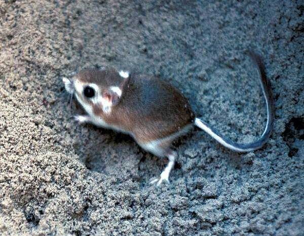 8- Rato-canguru