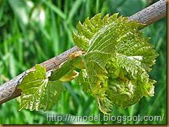 Период распускания почек и интенсивного роста виноградных побегов