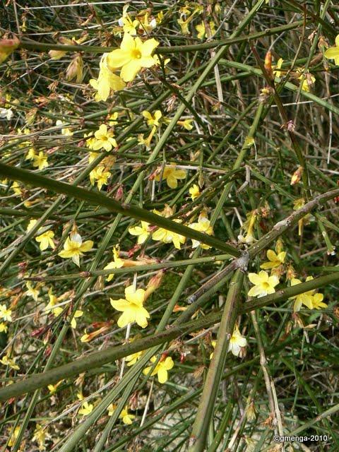 Jasminum nudiflorum, Jasmin d' hiver