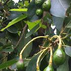 Avocados © Foto: Doreen Schütze | Outback Africa
