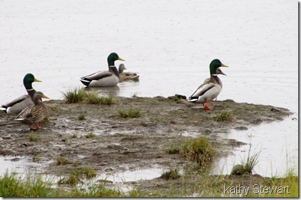 Mallards in the rain