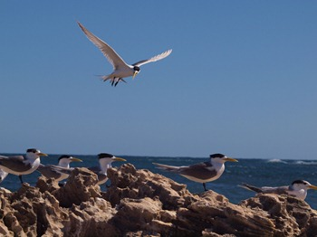 yellow beaked gulls
