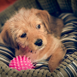 by Andreea Sim - Animals - Dogs Puppies ( dogs, cute puppy, dog portrait, puppy, animal,  )