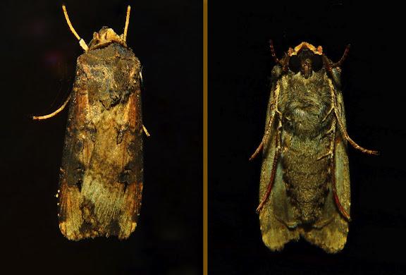 Noctuidae : Amphipyrinae : Neumichtis archephanes TURNER, 1920. Umina Beach (NSW, Australie), 22 avril 2011. Photo : Barbara Kedzierski