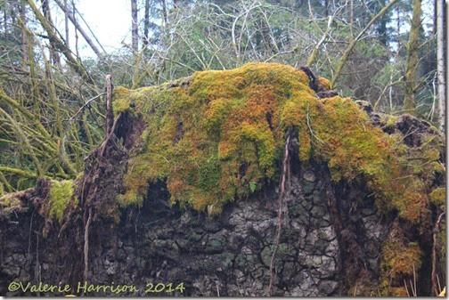 7-Moss