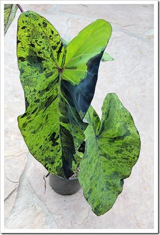 110702_Colocasia-esculenta-Mojito_14