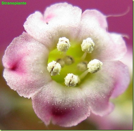 Adromischus subdistichus fiore aperto