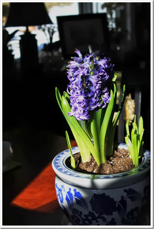 light on hyacinths 006