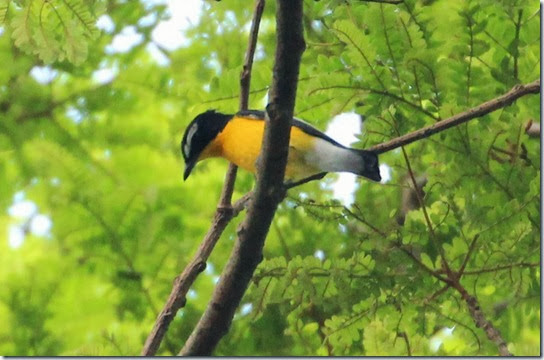 yellow rump flycatcher (3)
