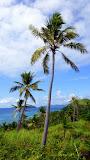 Swaying In The Breeze - Dravuni Island, Fiji