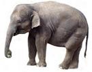 ElephantAsian