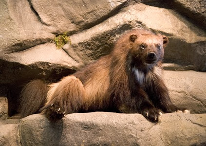 Amazing Pictures of Animals, Photo, Nature, Incredibel, Funny, Zoo, Wolverine, Glutton,  skunk bear, Carcajou, Alex (7)