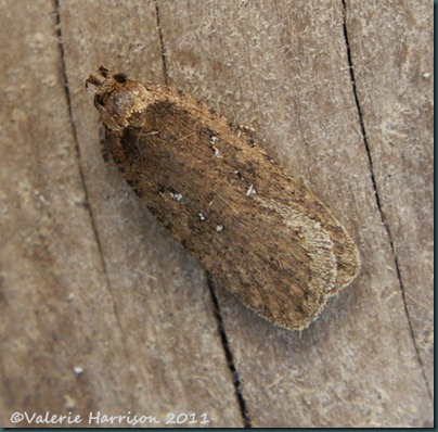 agonopterix heracliana or ciliella-1