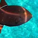 Black Durgon (Triggerfish)