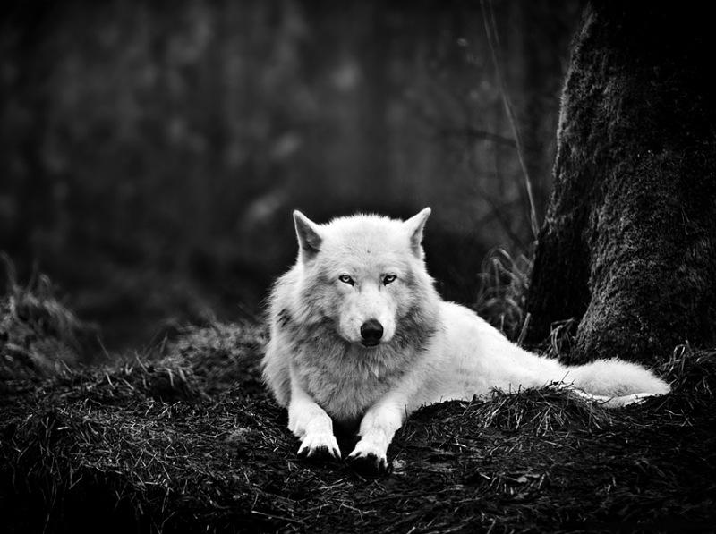 Lobo_gris