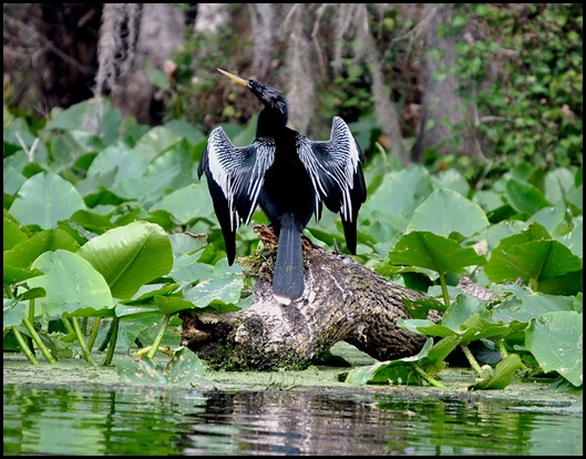 08 - Animals - Anhinga - male