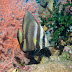 Dusky Batfish - Photo (c) 104623964081378888743, some rights reserved (CC BY-NC-SA)