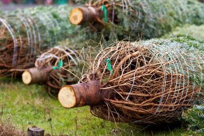 Christmas trees 235367
