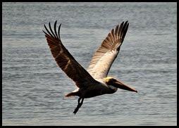 01a6- Nature - Pelican