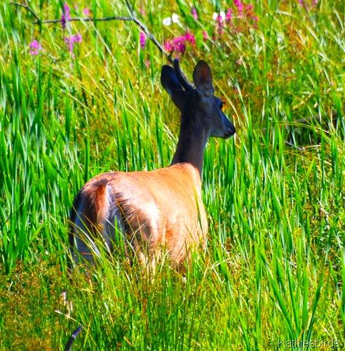 4. young buck-kab