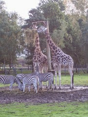 2013.10.26-015 girafes