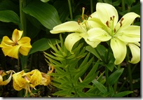 portmore yelllow lilies