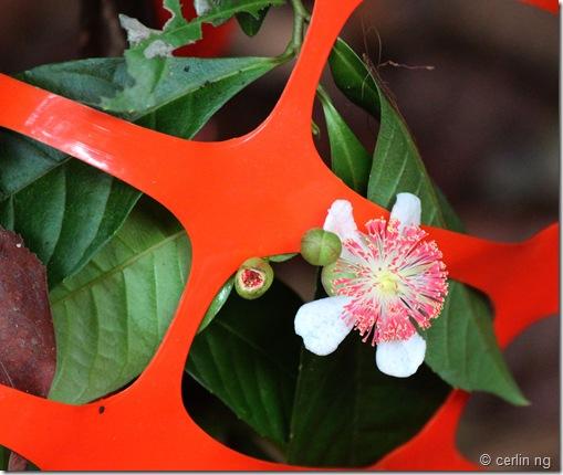 tetracera indica flwoer