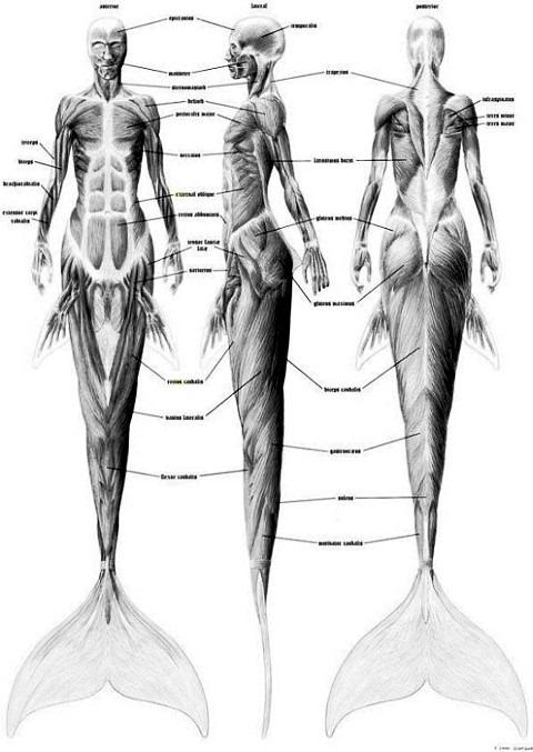 Анатомия русалок - мускулы