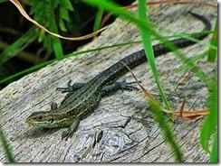 common lizard wood below churchyard July 2014 (1)