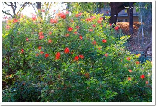 131124_UCD_Arboretum_AustralianCollection_Grevillea-Masons-Hybrid_09