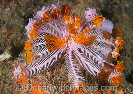 Crinoin Feather Star (Petasometra sp.). Found throughout the Indo Pacific, including the Great Barrier Reef, Australia.