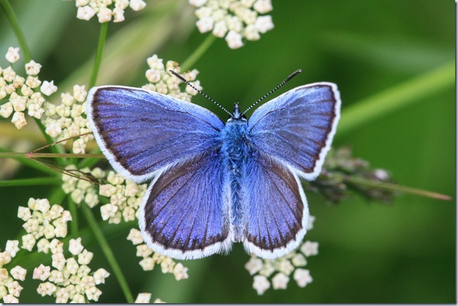 Silver-studded_Blue-3