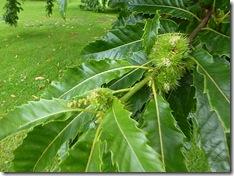 bhd sweet chestnuts