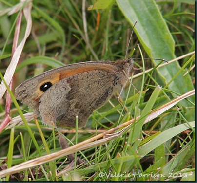 22-Meadow-Brown