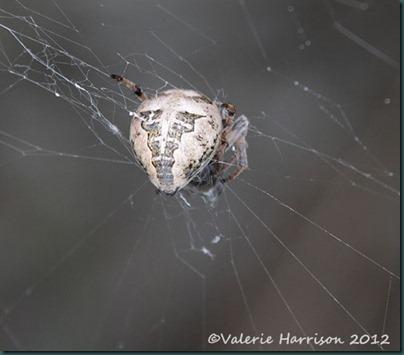 44-spider