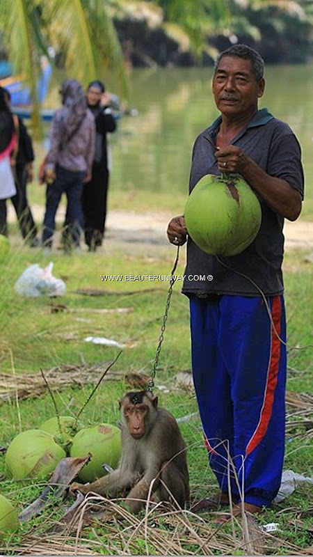 Kelantan Local watch Monkey pick coconut Live like one enjoy true blue Kelantanese villager laid back lifestyle. Wake up picturesque kampung, catch fishes, play traditional Malay instrument 'dikir barat', paddy husking,