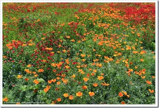 140414_SoDavis_wildflower_meadow_006