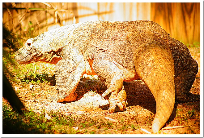 public-domain-komodo-dragon-picture (5)