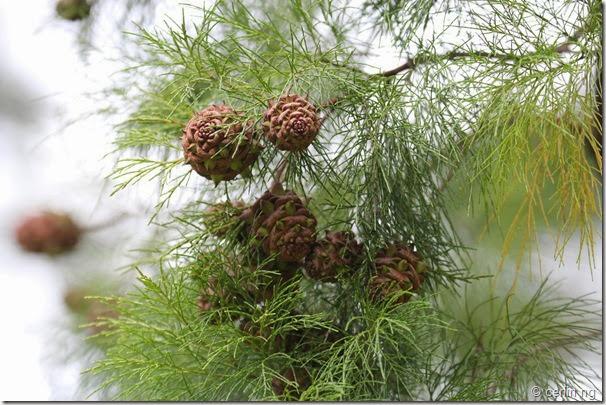 Gymnostoma sumatranum (2)