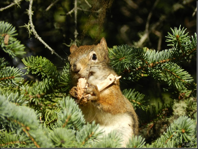 Red Squirrel eating mushroom