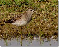 148 Common Greenshank
