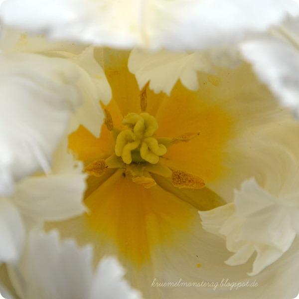 Tulpengruß (3)