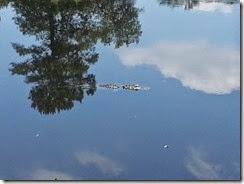Allex Alligator