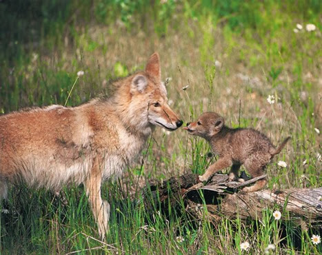 Amazing Pictures of Animals, Photo, Nature, Incredibel, Funny, Zoo, Coyote, Canis latrans, Alex (12)