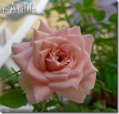 rosa rosa3