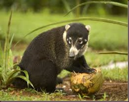 Amazing Pictures of Animals Coati Nasua. Alex (3)