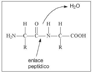 enlace peptidico 1