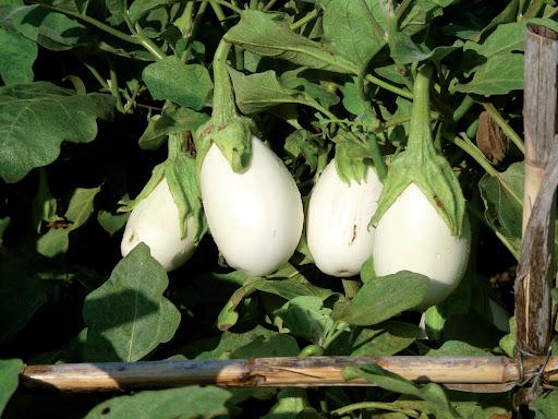 10.Alberginia blanca.jpg