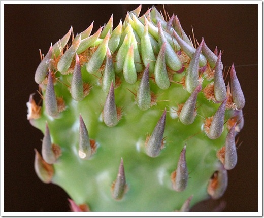110505_Opuntia-littoralis-var