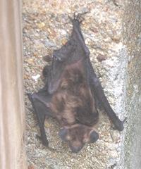 bat am 5